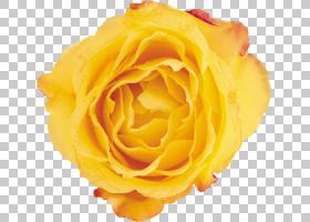 花卉剪贴画背景,蔷薇,floribunda,关门,玫瑰秩序,玫瑰家族,桃子,