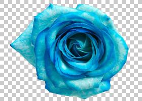 花卉背景,电蓝,蔷薇,植物,花瓣,青色,天蓝色,玫瑰秩序,花园玫瑰,