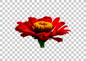 花卉背景,毯子花,插花,非洲菊,百日草,花园里,德兰士瓦雏菊,植物,