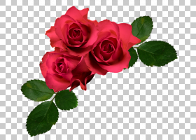 花卉背景,蔷薇,玫瑰秩序,粉红色,玫瑰家族,玫瑰,花瓣,花卉设计,颜