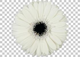 花卉剪贴画背景,星形目,黛西,花瓣,非洲菊,奶油,洋甘菊,沙斯塔・