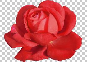 花卉剪贴画背景,桃子,蔷薇,玫瑰秩序,切花,玫瑰家族,红色,玫瑰,花