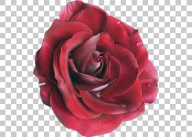 花园玫瑰,植物,floribunda,玫瑰家族,杂交茶玫瑰,粉红色,花瓣,花,
