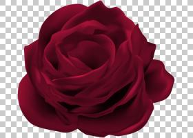 花束,蔷薇,植物,切花,洋红色,花瓣,玫瑰秩序,玫瑰家族,白色,花束,