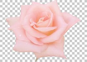 花束画,蔷薇,切花,花瓣,玫瑰秩序,玫瑰家族,桃子,植物,黄色,花束,