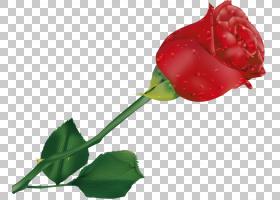族的图形,种子植物,切花,花瓣,植物茎,玫瑰秩序,芽,叶,植物,玫瑰