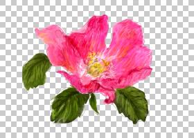 族的图形,草本植物,洋红色,一年生植物,蔷薇,玫瑰,梅洛家族,花瓣,