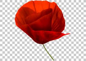水彩花卉背景,种子植物,玫瑰秩序,植物,玫瑰,罂粟家族,玫瑰家族,