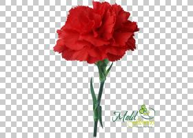 浅绿色背景,花瓣,玫瑰家族,一年生植物,桃子,植物茎,石竹,粉红色