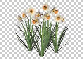 花卉剪贴画背景,种子植物,阿米利斯族(Amaryllis Family),水仙,植