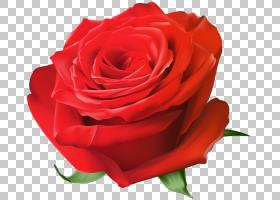 花卉剪贴画背景,红色,蔷薇,floribunda,切花,关门,玫瑰秩序,玫瑰