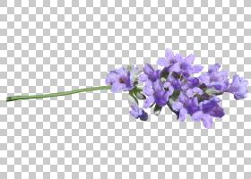 家谱背景,紫罗兰家族,风信子,身体首饰,植物茎,花瓣,植物,英国薰