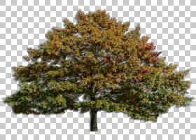 家谱背景,云杉,针叶树,木本植物,松树,常绿,植物,松科,火灾,世代,