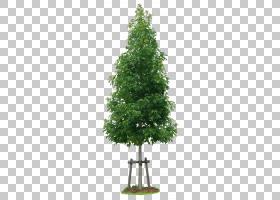 圣诞树科,飞机树族,草,云杉,针叶树,分支,圣诞树,木本植物,室内植