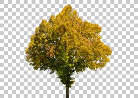 家谱背景,飞机树族,分支,娘毛树,木本植物,叶,植物,山毛榉,枫树,