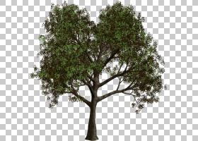 圣诞树科,飞机树族,分支,木本植物,橡木,植物,圣诞树,木兰花,障碍
