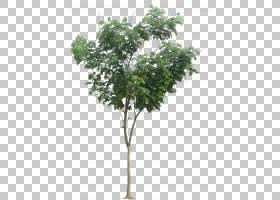 橡树叶,飞机树族,细枝,分支,木本植物,花盆,灌木,叶,珊瑚,丝绸植