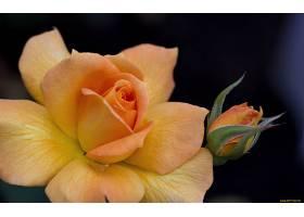 地球,玫瑰,花,壁纸,(131)