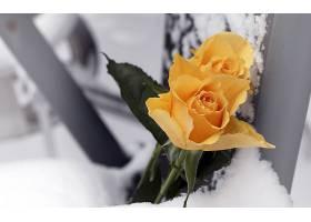 地球,玫瑰,花,壁纸,(133)