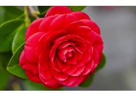 地球,玫瑰,花,壁纸,(134)