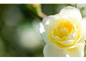 地球,玫瑰,花,壁纸,(136)