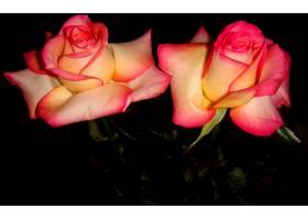 地球,玫瑰,花,壁纸,(139)