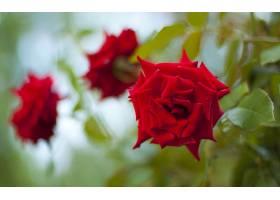 地球,玫瑰,花,壁纸,(14)