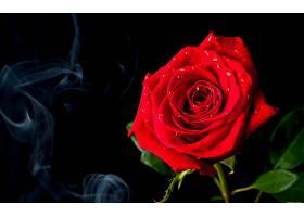 地球,玫瑰,花,壁纸,(141)