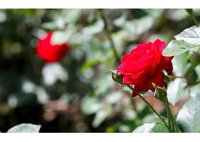地球,玫瑰,花,壁纸,(145)