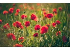 地球,罂粟,花,花,壁纸,(14)