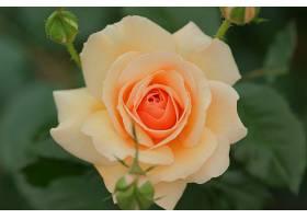地球,玫瑰,花,壁纸,(70)
