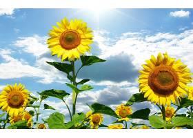 地球,向日葵,花,天空,云,壁纸,