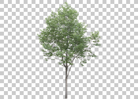 家谱背景,飞机树族,叶,杨梅,分支,架构,桦木,小树,灌木,枫树,木本