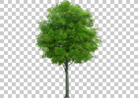 族的图形,飞机树族,灌木,常绿,落叶松,叶,果树,木本植物,芒果,植