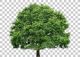 橡树叶,飞机树族,木本植物,叶,常绿,灌木,圣诞树,树木健康,植物,