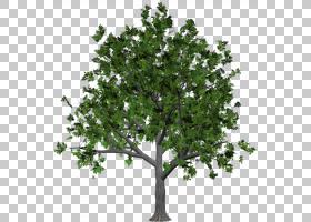 家谱背景,橡木,灌木,常绿,飞机树族,叶,植物,贴纸,松树,木本植物,