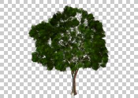 家谱背景,飞机树族,草,叶,常绿,无花果树,木材,木本植物,海湾月桂