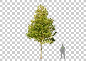 家谱背景,飞机树族,针叶树,娘毛树,木本植物,松科,植物,火灾,常绿