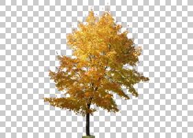 家谱设计,飞机树族,秋季,分支,落叶,枫树,植物,娘毛树,木本植物,
