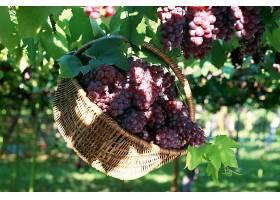 食物,葡萄,水果,壁纸(45)