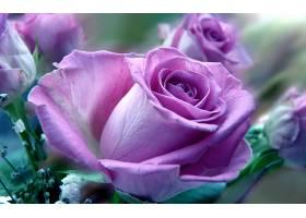 地球,玫瑰,花,壁纸,(142)