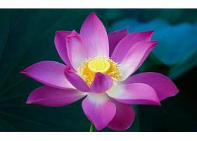 地球,莲花,花,花,壁纸,(1)