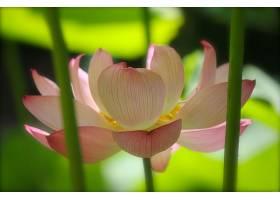 地球,莲花,花,花,壁纸,(4)