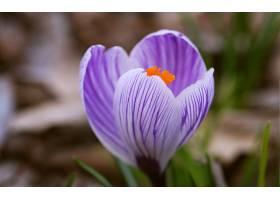 地球,藏红花,花,花,自然,巨,特写镜头,壁纸,
