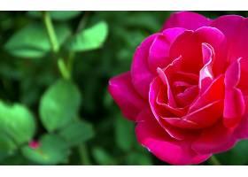 地球,玫瑰,花,花,壁纸,(14)