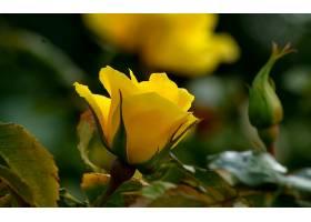 地球,玫瑰,花,黄色,玫瑰,花,壁纸,
