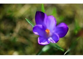 地球,藏红花,花,花,紫色,花,壁纸,(14)