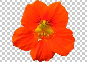 桃花,硫磺宇宙,橙色,植物,桃子,玉米卷,[医]大圆盘,草本植物,花瓣图片