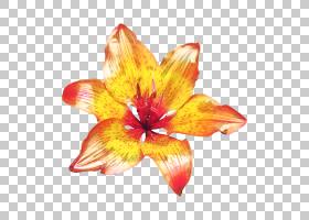 百合花卡通,多年生植物,野花,,黄色,植物,红色,橙色,花瓣,莉莉,黄图片
