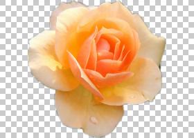 花卉剪贴画背景,蔷薇,切花,floribunda,桃子,关门,玫瑰秩序,花瓣,